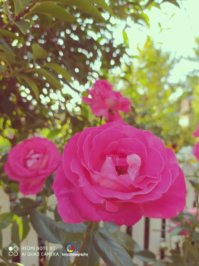#freetoedit @ionyphotography  🌺🌺💓💓🐝🐝🌈🌈🌿🌿📸  #followme #follow4follow #xiaomiphotography#roses#bess   #insect #insect_perfection #bugs #bugslife #wildlife #wildlifephotography #flower #flowers #flowersforlove #flowersinthegarden #flowerslovers #flowerselfie #flowersofinstagram #flowerstyles_gf #flowersofpicsart #nature #naturephotography #naturesbeauty #naturelovers #natureshot #nature_perfection #nature_brilliance #photography #photooftheday #myphotography