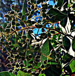 leaves berries plantsandflowers sunbeam hikelife naturelovers hikingadventures shading mood love caligirl mymind myeye bchez photography edit