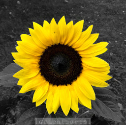 sunflower flowershoutout colorsplash colorsplasheffect simple ftestickers freetoedit