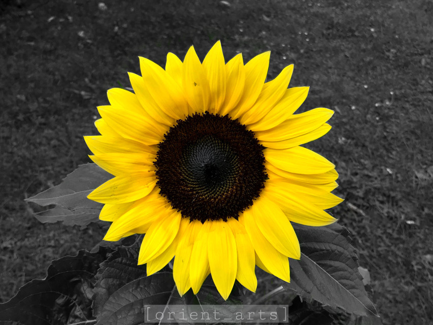Original photo: @orient_arts  Edit by: @orient_arts     #sunflower #flowershoutout #colorsplash #colorsplasheffect #simple #orient_arts #Madewithpicsart #Freetoedit #Ftestickers #stayinspired #createfromhome#Remixit