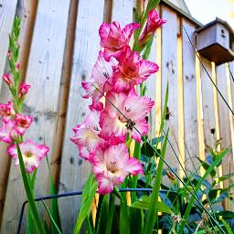 gladiolus mygarden pink loveit kinora flowers