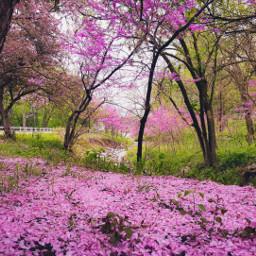 freetoedit petals pink flowers sakura cherryblossoms