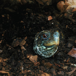 boxturtle tortoise nature summer wildlife interesting photography cute brown freetoedit animals wild outside