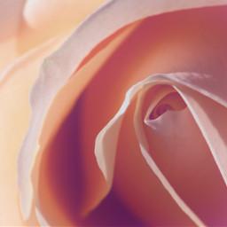 unsplash beautifulrose closeuprose
