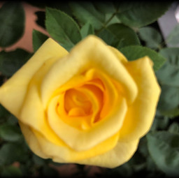 yellow rose vingetteeffect picartedits nature freetoedit