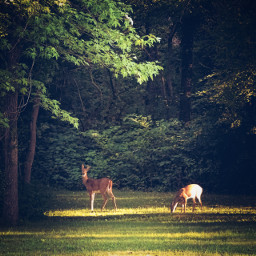 freetoedit deer woods calm tranquil relaxed nature animal wild trees
