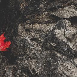 freetoedit red black leaf fall