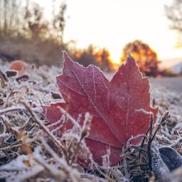 freetoedit fall leaf red frost crisp lowangle