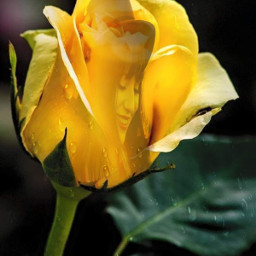 freetoedit yellowrose dewdrops friendshiprose unsplash