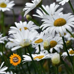 freetoedit myphoto flowers august