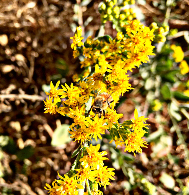#bee #kind #yellowflower #hikelife #caligirl #hikingadventures #nature #beauty #seeme #mood #mymind #myeye #bchez #photography #edit
