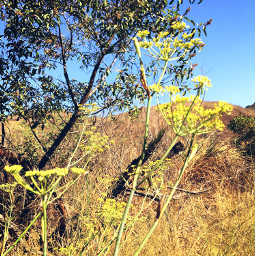 yellowflowers trees talkgrass hillview hikelife caligirl hikingadventures seeme mood mymind myeye bchez photography edit