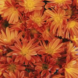 freetoedit naranja orange flor flores flower flowers background fondo fondonaranja orangebackground flowerbackground fondoflor fondoflores