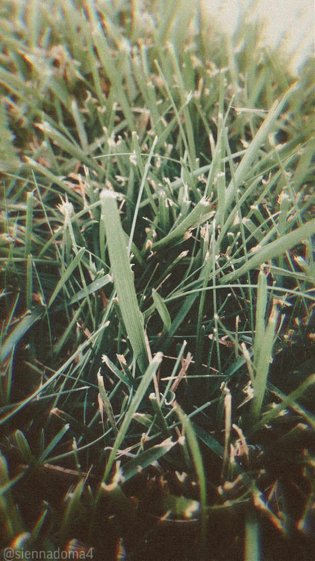 Hello everyone! Here is an up-close picture I took a few days ago, of grass (obviously😂) :)  Also, I have become aware of the situations in Belarus and Thailand- prayers for anyone from there :( 🙏🏻  Here are some tags: @nqstiyq @x_sweet_sunshine @artist_noor @marlene_art / @somecoolone @-fijiglow / @rqmen @ruyacenik_02 @sienna_outlinez  @draw2liv @jennaulin @rachelvbsb88  @gweni_120208 @bffs_tumblr ❤️❤️❤️  Have a wonderful day or night! :D  #grass #minnesota #summer #nature #belarus #thailand #prayformexico #prayforbelarus #prayforthailand #blm #photography #myphoto  👊🏻👊🏼👊🏽👊🏾👊🏿 🦋👑❤️   #freetoedit