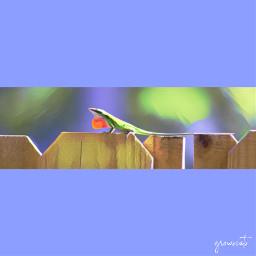freetoedit simple fence lizard backyard myedit
