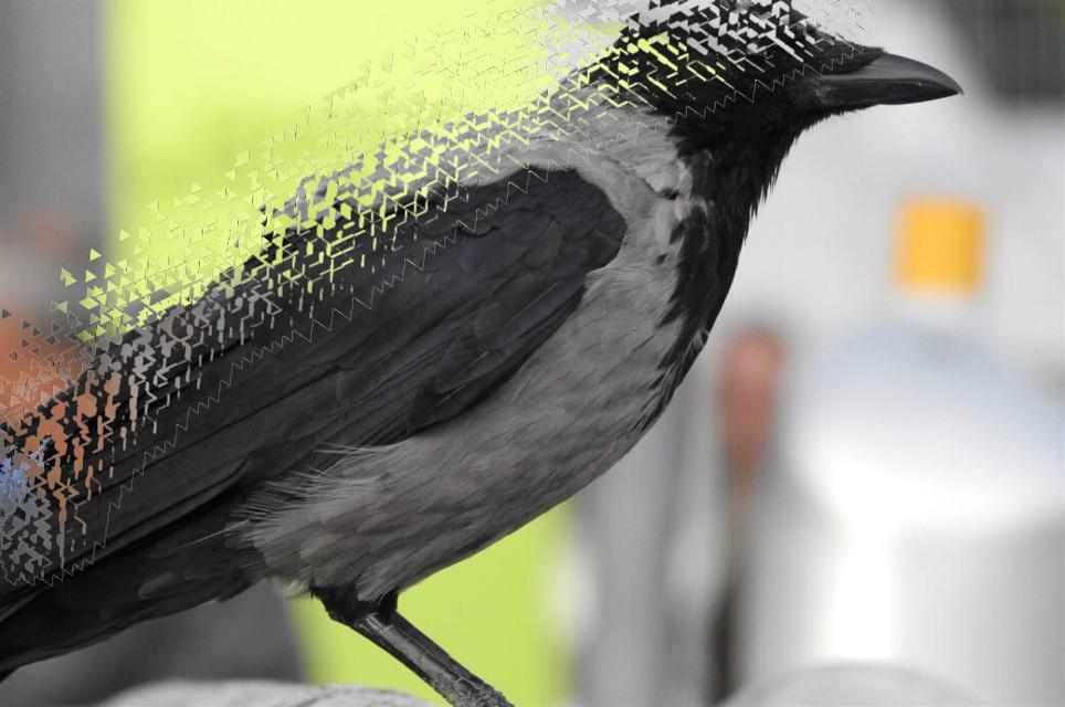 #crow