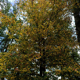 kinora tree colorchange green yellow