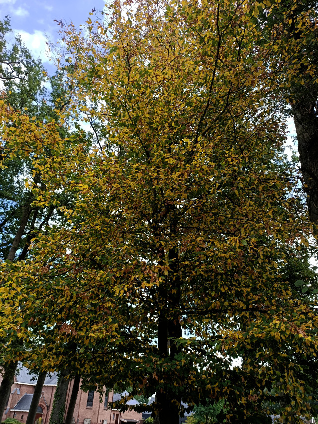 The word autumn came to my mind, when I saw this tree today...🙈🍁🍂🍃 #kinora #tree #colorchange #green #yellow
