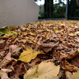 kinora leaves falling brown