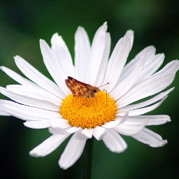 daisy aesthetic zoom flower yellow butterfly background animaleye❤ unsplash animaleye