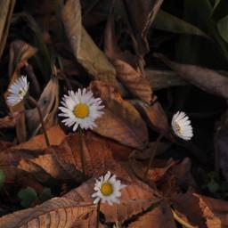 daisy aesthetic aestheticflower aestheticbrown leaves fall beautifulflower unsplash