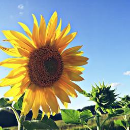 nature sunny belarus lovelife yellowflower