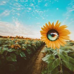 sunflowers flowers nature rainboweye freetoedit