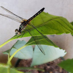 nature photography insect dragonfly wings interesting freetoedit pcmybestphoto mybestphoto