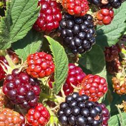 photography myphoto garden blackberries delicious picsart freetoedit