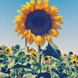 sunflower girasol flower summer sun freetoedit