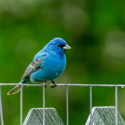 freetoedit bird indigobunting nature blue