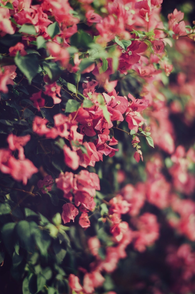 #nature #plantsandflowers #flowerybushes #flowers #bougainvilleas #naturesbeauty #depthoffield #softcontrast #naturephotography