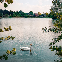 swan animal water lake freetoedit