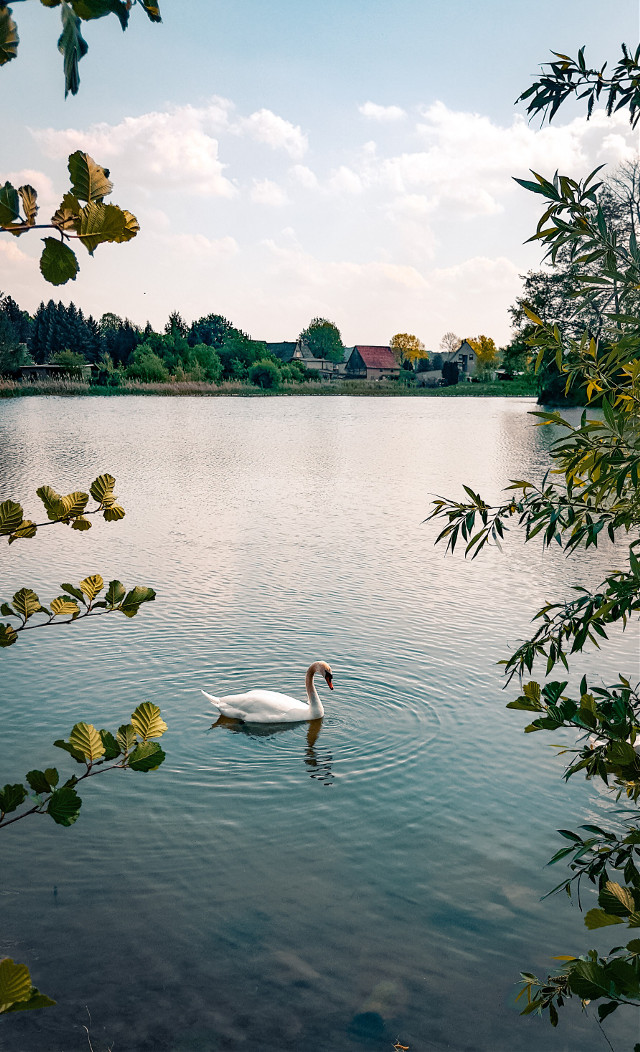 #swan #animal #water #lake  #freetoedit
