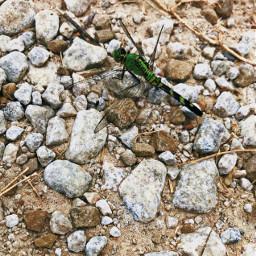 freetoedit photography dragonfly nature naturephotography rocks animals insectphotography insect animalphotography greendragonfly green country oklahoma