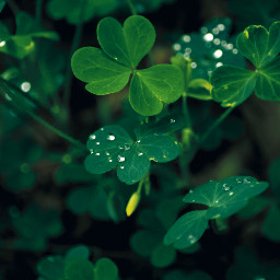 photography naturephotography naturelovers shoutout green greenaesthetic greenminimalism greenleaves greenleaf leaf leaves afterrain raindrops rain forest forestphotography galicia freetoedit clover clovers