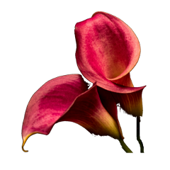 freetoedit callas flower blossom red