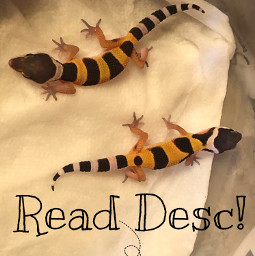 leopard gecko geckos lizard leopardgeckos cute mygecko adorable baby babygeckos small little littlelizard bootiful freetoedit