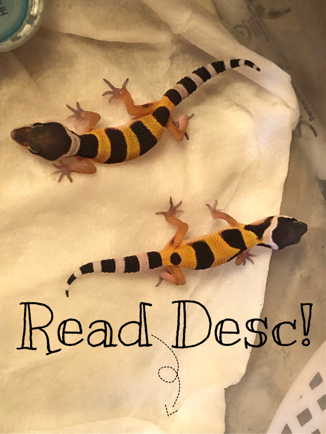 If u look at my previous posts i posted a pic of my leopard geckos, the one with no spots is a girl and she laid like 34 eggs in the 2 yrs that we have had her, we incubated the eggs and these two were fertizlied by the male gecko apparently and these are the offspring! We're trying to pick names, THEIR SO CUTTTTTEEEE!!! #leopard #gecko #geckos #lizard #leopardgeckos #cute #mygecko #adorable #baby #babygeckos #small #little #littlelizard #bootiful
