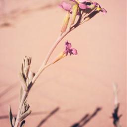 freetoedit nature plantsandflowers flower singleflower minimal dunes beachdunes beachsand warmsunnylightandshadows wildflower tinyflower lowangleshot closeupflower minimalisminnature simplicity naturephotography
