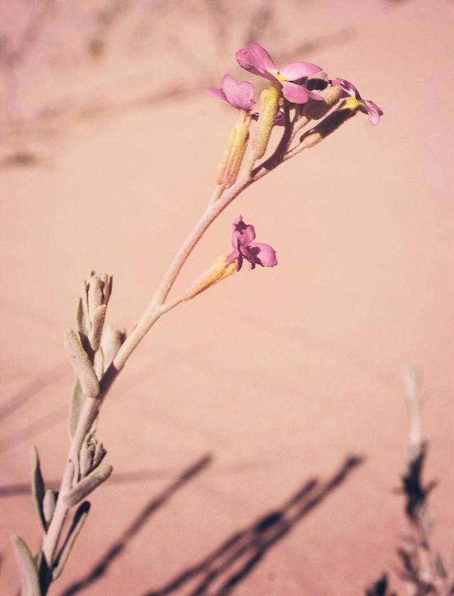 #nature #plantsandflowers #flower #singleflower #minimal #dunes #beachdunes #beachsand #warmsunnylightandshadows #wildflower #tinyflower #lowangleshot #closeupflower #minimalisminnature #simplicity #naturephotography