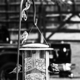wildbirds birdsinthewild wildbirdsofpixar birdtheme nature beautyinnature birdfeeder birdseed cute adorable funny monochrome black residentialarea desktop fullframe myphotography nikond5600 edit