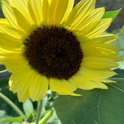 sunny_day yellowflower summertime