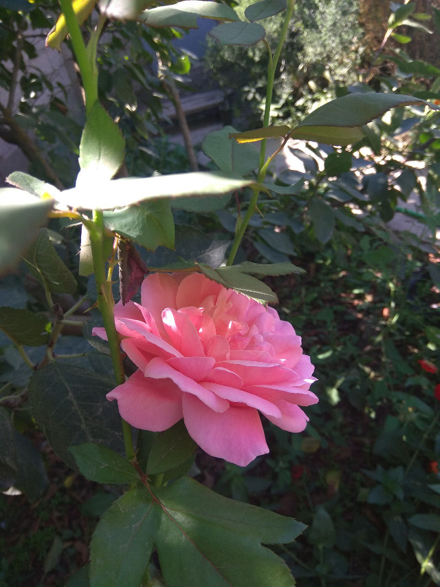 #роза🌹 #розовый  #freetoedit #mygarden #mygardenflower