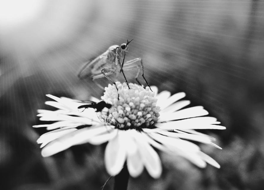 #freetoedit #flower #insect #blackandwhite #interesting #art