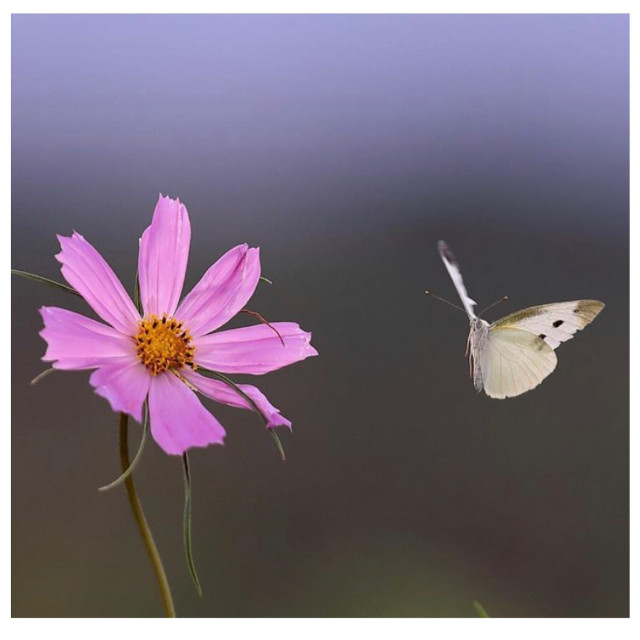 #icu_japan #ig_cameras_united #featuredimages #featured #instagram #butterfly #pinkflower #harmony #tenderness #vampikisses #nature #naturelovers #naturephotography