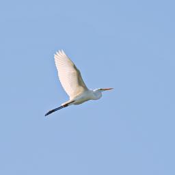 outdoorphotography birdsinflight heron clearbluesky sunyday freetoedit