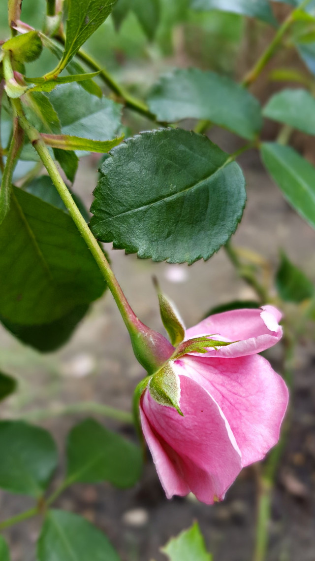 #bunia0914 #myphoto #myoriginalphoto #myclick #naturephotography #garden #mygarden #summer #garden #mygarden #summer #summertime #nature #plant #plants #flowers #rose #green #pink #pinkflower #beautifulday #happyday