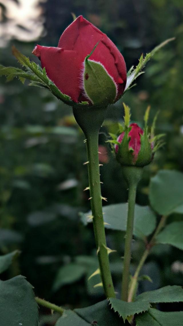#bunia0914 #myphoto #myoriginalphoto #myclick #naturephotography #garden #mygarden #summer #garden #mygarden #summer #summertime #nature #plant #plants #flowers #rose #green #red #redflower #beautifulday #happyday