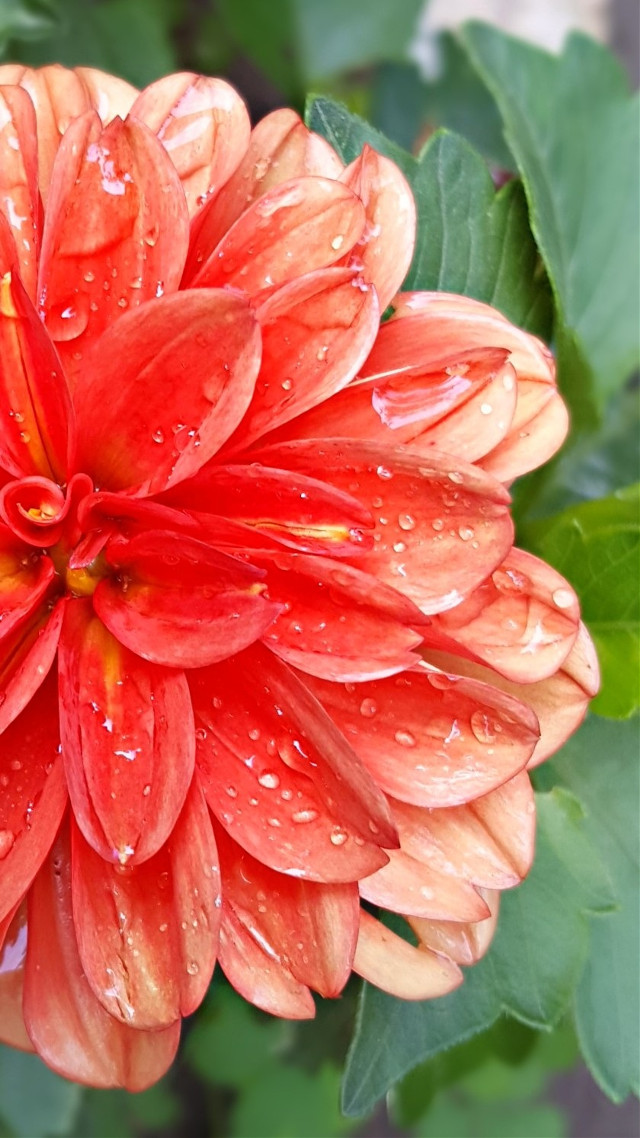 #bunia0914 #myphoto #myoriginalphoto #myclick #naturephotography #garden #mygarden #summer #garden #mygarden #summer #summertime #nature #plant #plants #flowers #green #red #redflower #dahlia #rain #afterrain #raindrops #beautifulday #happyday